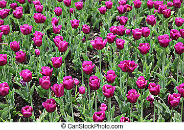 Beautiful spring tulip flowers in coloful garden
