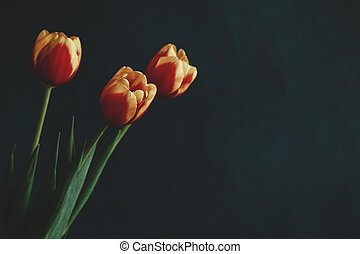 beautiful spring tulips on a background in the studio