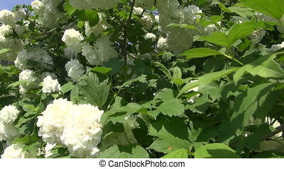 beautiful spring viburnum bush