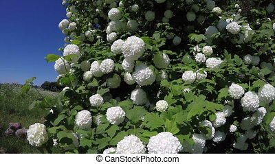 beautiful spring viburnum snowball tree blossoms in wind and...