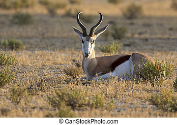 Beautiful springbok male lay down to rest in the early morning on a Kalahari plain