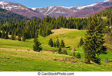 beautiful springtime landscape of Carpathians. coniferous...