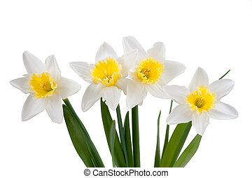 Beautiful springtime narcissus isolated on a white...