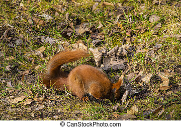 Beautiful squirrel is looking for or hiding a nut in the park.