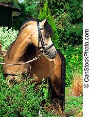 beautiful stallion of welsh pony