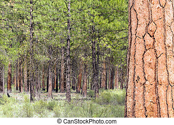 Beautiful Stand of Trees Bend Oregon Deschutes County
