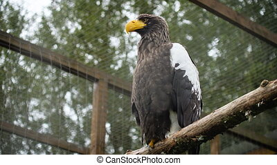 Beautiful Steller's Sea Eagle (Haliaeetus pelagicus) sitting on a tree branch