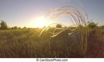 Beautiful stipa plant in the sunset light