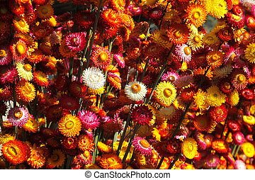 straw flower or everlasting helichrysum bracteatum -...