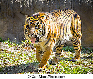 Beautiful striped tiger