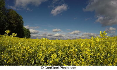 Beautiful summer blossoming rapeseed  field in wind
