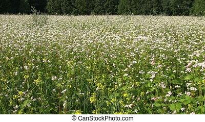 beautiful summer buckwheat field