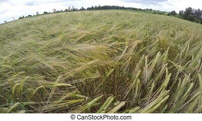beautiful summer end barley field