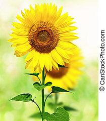 sunflowers - Beautiful summer field with sunflowers.