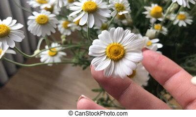 beautiful summer flowers Chamomile