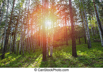 Forest in Rays of Bright Sunlight