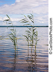 Beautiful summer lake, reeds in the foreground , on background of forest and sky. Vertical image