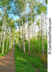 Beautiful summer landscape in birch grove