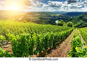 Beautiful summer landscape with vineyard at sunny day