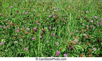 Beautiful summer meadow with clover in Russia - Beautiful...