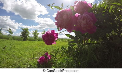beautiful summer peony blossoms