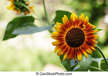 Beautiful summer sunflowers, natural blurred background, selective focus, shallow depth of field