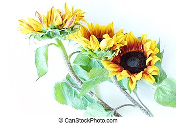 Beautiful summer sunflowers on white background view