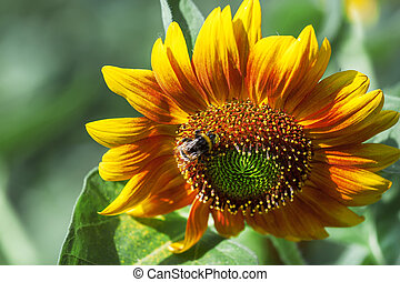 Beautiful summer sunflowers, shaggy bumblebee, natural blurred background, selective focus, shallow depth of field