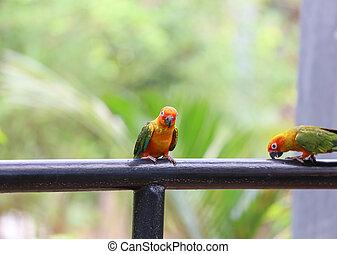 Beautiful sun conure parrot