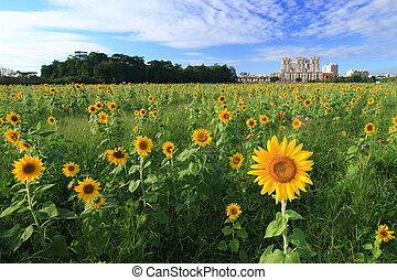 Beautiful sun flower under blue sky