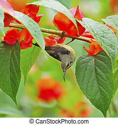 Beautiful Sunbird, juvenile male Black-throated Sunbird (Aethopyga saturata), hanging on a branch
