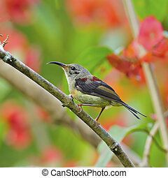 Beautiful Sunbird, juvenile male Black-throated Sunbird (Aethopyga saturata), standing on a branch, side profile