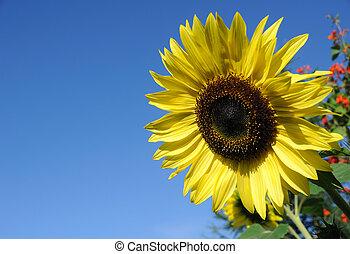 Beautiful Sunflower against a Blue Sky