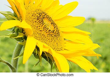 Beautiful sunflower closeup on a background Fields