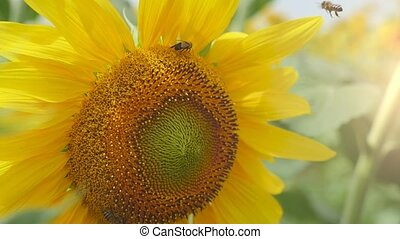 Beautiful sunflower disk with a moving bee on in a Ukrainian...