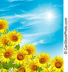 Beautiful sunflower field in summer