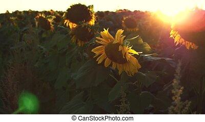 Beautiful Sunflower Field on Sunset in 4k