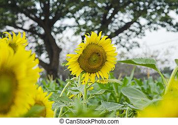 Beautiful sunflower field over cloudy blue sky