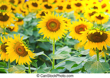 beautiful sunflower fields on morning, The Famous Attractions flower on winter