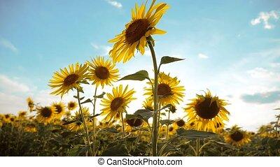 beautiful sunflower Helianthus field lifestyle of yellow...