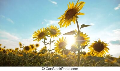 beautiful sunflower Helianthus field of lifestyle yellow flowers on a background of blue sky landscape. slow motion video. a lot of sunflower - a large field of agriculture. collection of biomass oil concepts sunflower farming agriculture