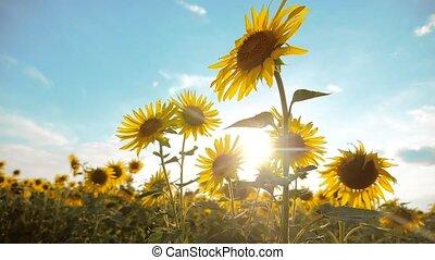beautiful sunflower Helianthus field of lifestyle yellow...