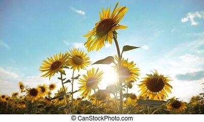 beautiful sunflower Helianthus field of yellow flowers...