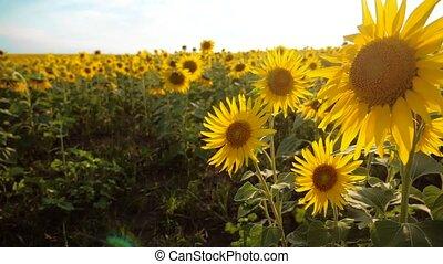 beautiful sunflower Helianthus field of yellow flowers on a...
