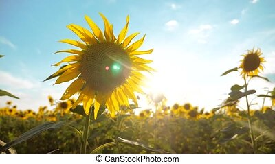 beautiful sunflower Helianthus field of yellow flowers on a background of blue sky landscape lifestyle. slow motion video. a lot of sunflower - a large field of agriculture. collection of biomass oil concepts sunflower farming agriculture