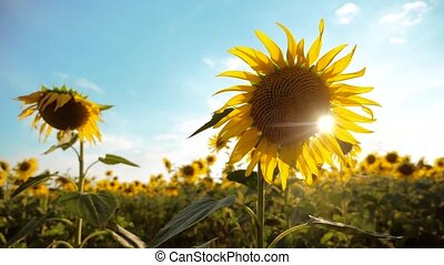 beautiful sunflower Helianthus field of yellow flowers on a background of blue sky landscape. slow motion video. lifestyle a lot of sunflower - a large field of agriculture. collection of biomass oil concepts sunflower farming agriculture
