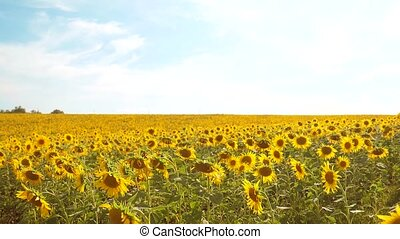 beautiful sunflower Helianthus field of yellow flowers on a background of blue sky landscape. slow motion video. a lot of sunflower - a large field of agriculture. collection of biomass oil concepts lifestyle sunflower farming agriculture