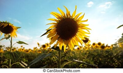 beautiful sunflower Helianthus field of yellow flowers on a background of blue sky landscape. slow motion video. a lifestyle lot of sunflower - a large field of agriculture. collection of biomass oil concepts sunflower farming agriculture