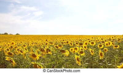 beautiful sunflower Helianthus field of yellow flowers on a background of blue sky landscape. slow motion video. a lot of sunflower - a large field of agriculture. collection of biomass oil concepts sunflower farming lifestyle agriculture