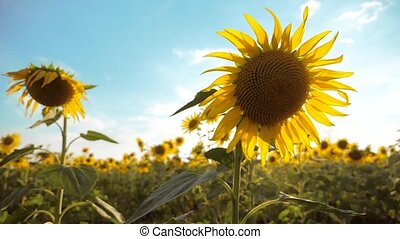 beautiful sunflower Helianthus field of yellow flowers on a background of blue sky landscape. slow motion video. a lot of sunflower lifestyle - a large field of agriculture. collection of biomass oil concepts sunflower farming agriculture